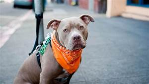 racism and the american pit bull
