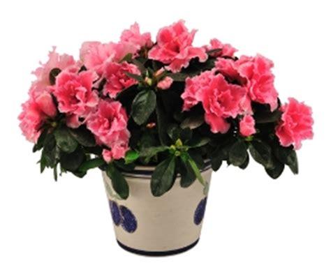 cura azalea in vaso efiorista in italy ti aiuta a regalare e consegnare
