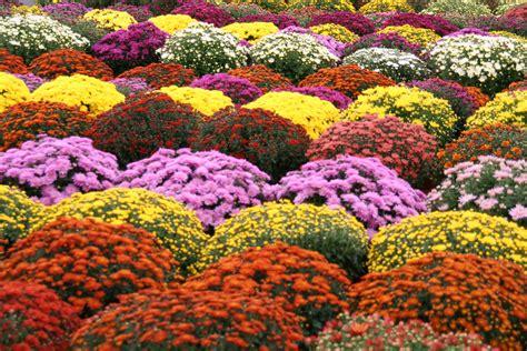 chrysanth 232 mes de la toussaint au jardin des plantesau