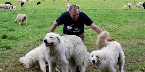 11 Things That You Have To Endure Of Your Great Pyrenees