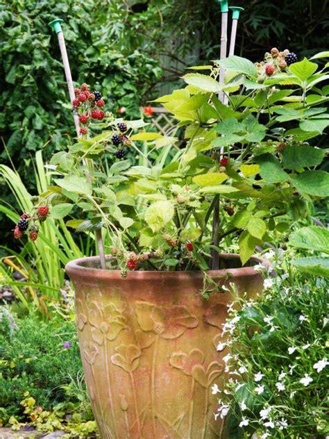 grow raspberries in a pot how to grow blackberry plants in pots hgtv