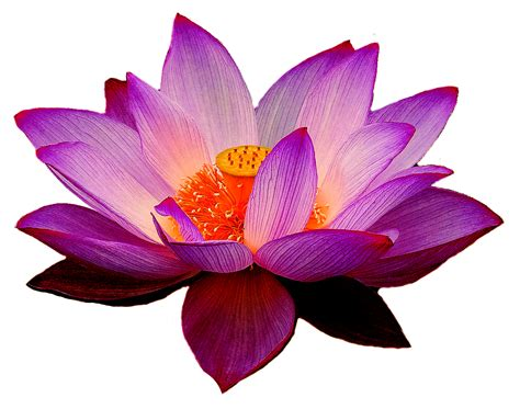 lotus clipart waterlily lotus waterlily transparent