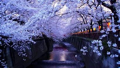 Blossom Cherry Anime Desktop Scenery