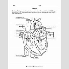 Cardiovascular System Heart Diagram To Color By Lori Maldonado Tpt