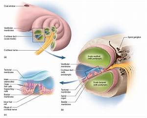 The Fluids Move Into The Scala Vestibule And Out The Scala Lymphani  The Cochlear Duct Contains