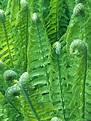 Ferns - Make a Splash with Water and Bog Plants on HGTV ...