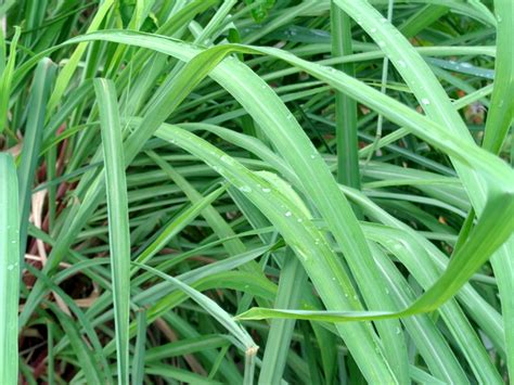 does citronella work citronella plants protect our home in the philippines from mosquitoes philippines plus