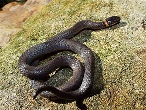 Southern Ringneck Snake | Flickr - Photo Sharing!