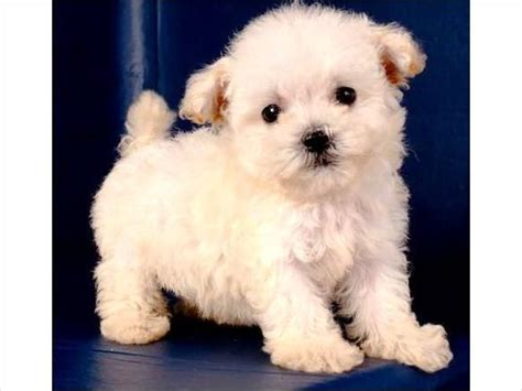 big smart non shedding dogs 11 best images about hypoallergenic breeds on