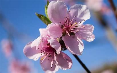 Peach Blossom Blossoms Wallpapers Flower Wallpapersafari Cherry