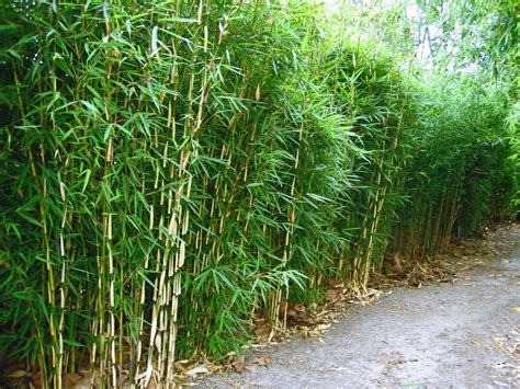 Schnellwachsende Immergrüne Sträucher by Bamboehagen Bamboekwekerij Kimmei Valkenswaard