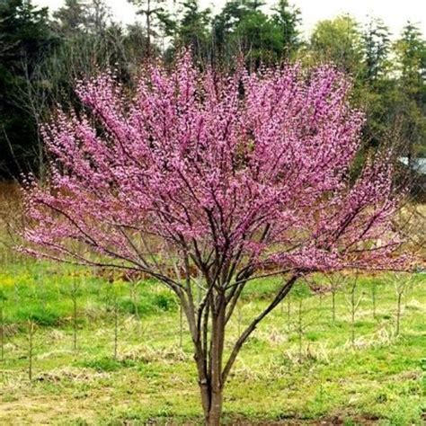 ace of hearts redbud pinterest