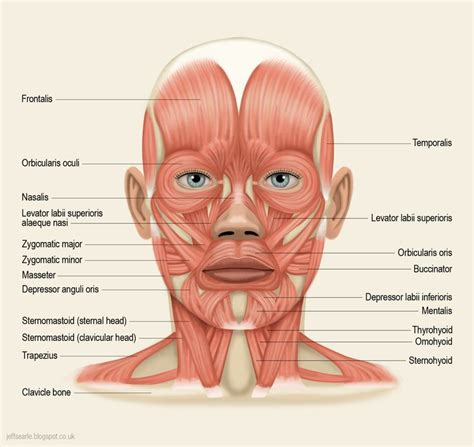 Motor cranial nerves help control muscle movements in the head and neck. Pin on Health