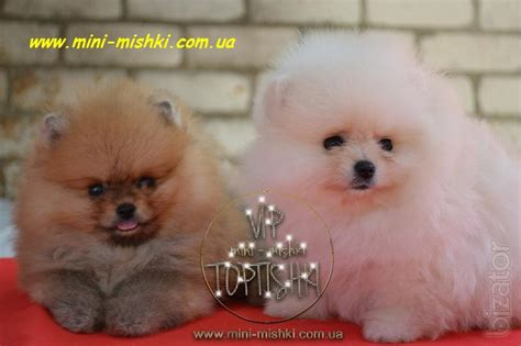 exclusive puppies pomeranian spitz rare colors vip classa