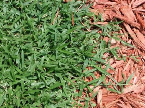 Common Weeds In Florida Lawns
