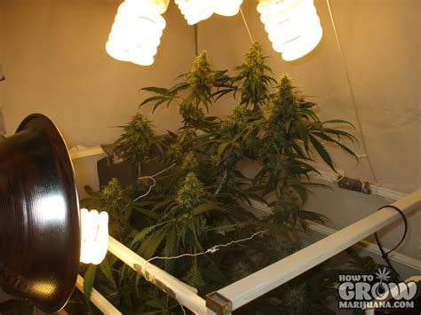growing weed with fluorescent lights compact fluorescent cfl grow lights