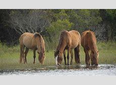 Wild Horses Carrot Island Nc Best Image Konpax 2018