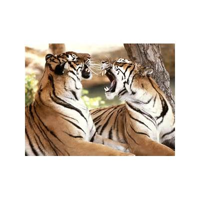The Royal Bengal Tiger - Endangered Species ~ MyClipta