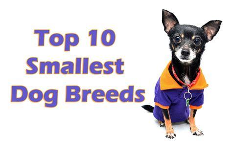 World Top 10 Smallest Dog Breeds - Blog