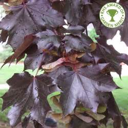 Crimson King Norway Maple Tree Leaf