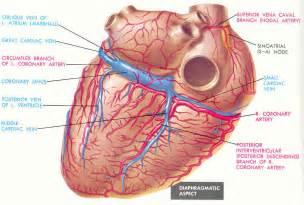 Cardiac Coronary Arteries and Veins