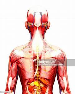 World U0026 39 S Best Human Anatomy Organs Back View Stock Pictures