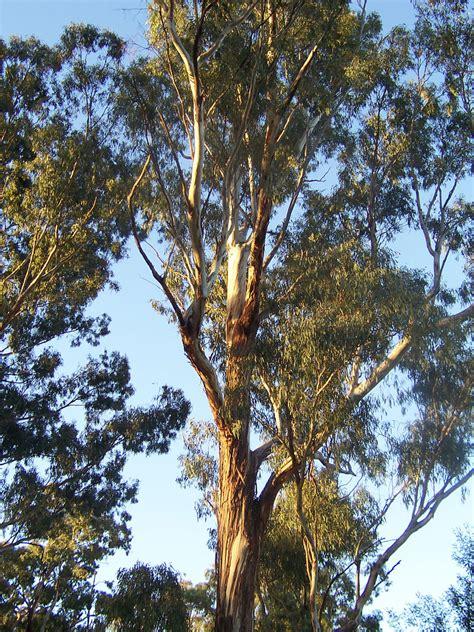 Fileeucalyptus Treejpg