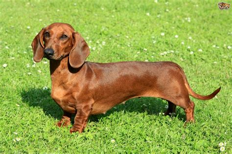 Images Of Wiener Dogs Dachshund Breed Facts Highlights Advice Pets4homes
