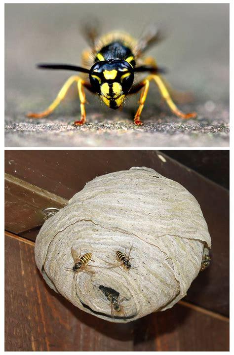 Wie Wespennest Entfernen by Wespennest Entfernen V 246 Gel Igel Insekten Und Co
