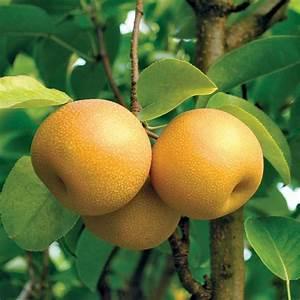 Hosui Asian Pear - Pear Trees - Stark Bro's  Pear