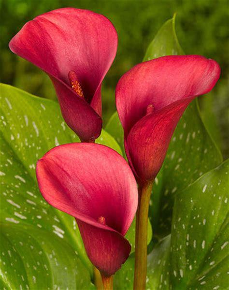 calla rot von blumenzwiebelnversand auf blumende kaufen