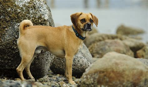 puggle dog breed information