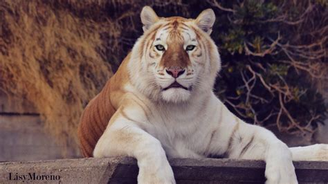 The Magnificent Beauty Golden Tiger Lisymoreno