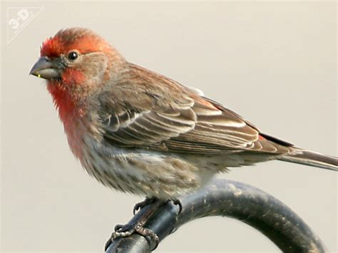 finches as pets house finch 3d 174 pet products3d 174 pet products