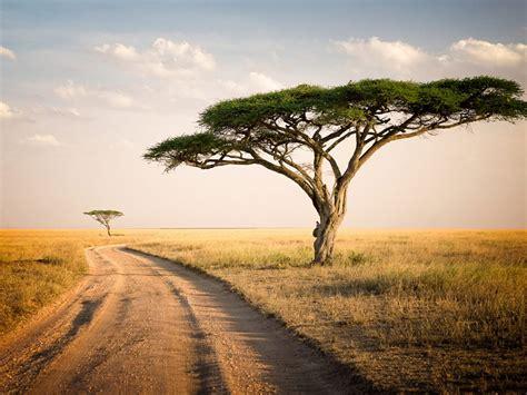 serengeti park tanzania savannah  lonely trees dry