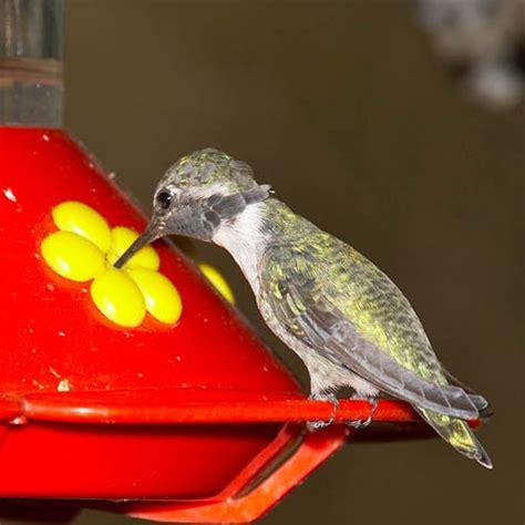 top 28 hummingbird water sugar mix coloring recipes