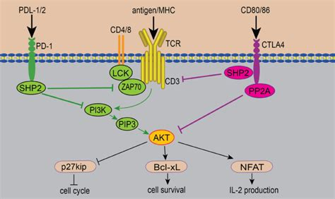 Pd-1 And Ctla-4 Mediated Inhibitory Signaling For T Cell