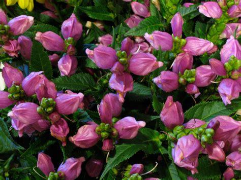 perennial flowers for shade notes and news from shady grove gardens perennials for shade from shady grove gardens nursery