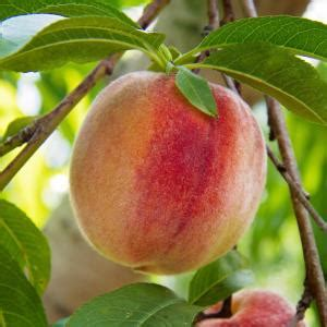 flordaking peach tree pchflkg  home depot