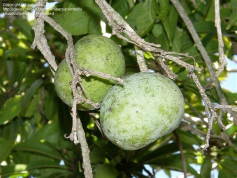 Plantfiles Pictures White Sapote, Mexican Apple