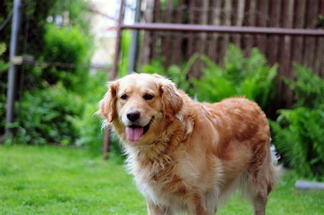 golden retriever dog happy  photo  pixabay