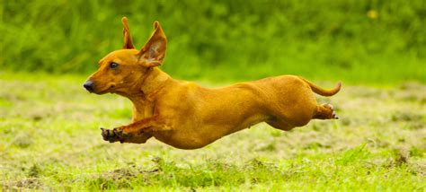breed  puppy   dachshunds  happy