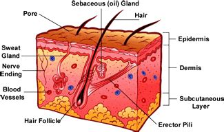 Skin Cell Diagram Label by Your Skin For Kidshealth