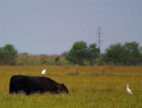 รูปภาพฟรี: นกกระยาง ขี่ วัว