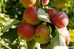 Apfelbaum Wann Schneiden : wann und wie sie einen apfelbaum schneiden anleitung plantopedia ~ Frokenaadalensverden.com Haus und Dekorationen