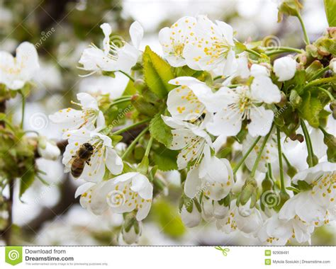 Cherry Tree Branch Bud Blossom Background As Beautiful