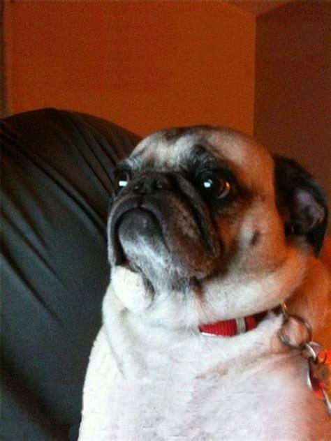 IRTI   funny picture #810   tags: pug dog unhappy sad