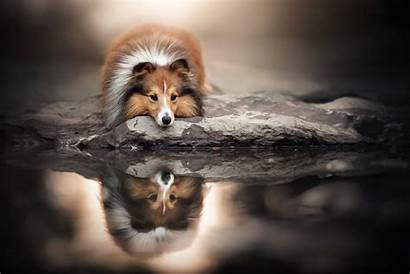 Pies Owczarek Szetlandzki Woda Odbicie Wallhaven Cc