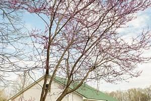 Anthurie Blüht Nicht : judasbaum bl ht nicht ursachen und ma nahmen ~ Frokenaadalensverden.com Haus und Dekorationen
