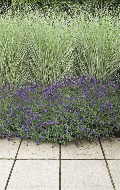 Lavendel Und Gräser by Miscanthus Morning Light And Lavender Plant